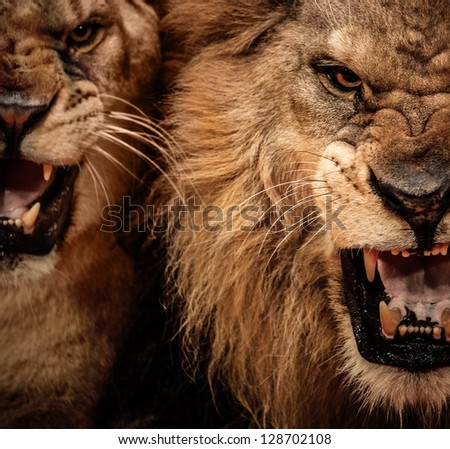 Close-up shot of two roaring lion - stock photo