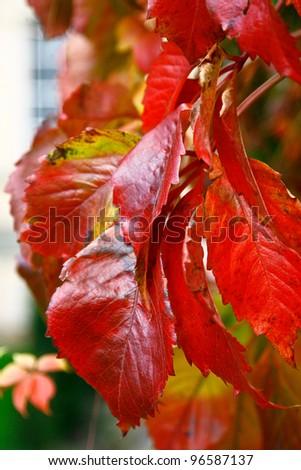 close up shot of Virginia Creeper Parthenocissus quinquefolia leaves turning bright red in the autumn - stock photo