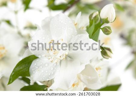 Close up shot of white jasmine flowers.  - stock photo