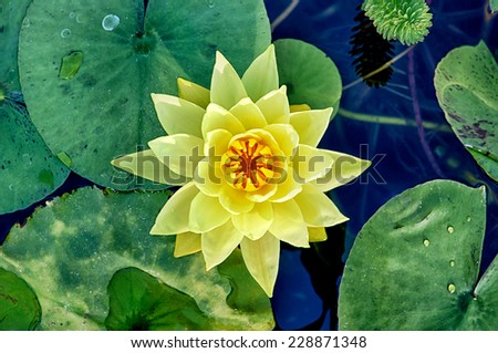 Close up shot of yellow water lily (Yellow Dazzler) - stock photo