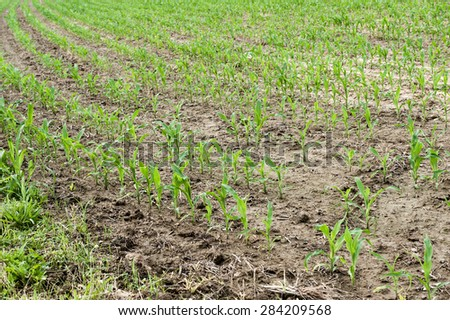 Close up shot of young corn plants beginning to sprout in a muddy field - stock photo