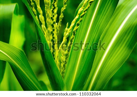 close up shot on corn stalk blossom in a field with blur leaves background - stock photo
