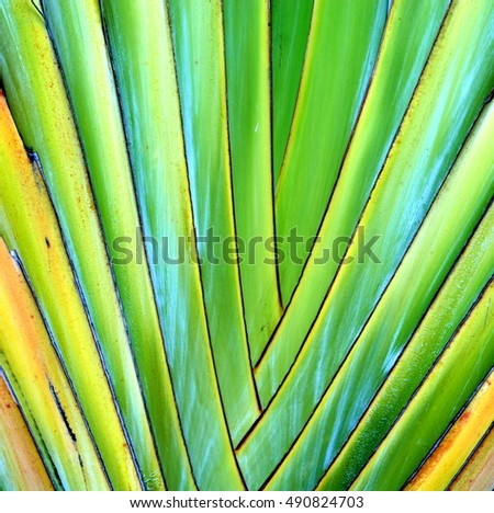 Close up showing details of the center of a Travelers Palm Tree (Ravenala madagascariensis), can be used as abstract background.
