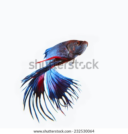 close up siamese blue  crown tail fighting betta fish isolated white background - stock photo