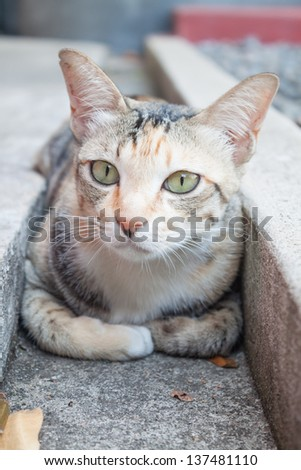 Close up siamese cat laying down in home garden - stock photo