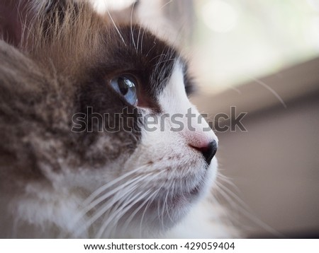 Close up Side Angle Facial Macro of Long Hair Bi Color Brown White Ragdoll Cat with Blue Eyes and Black Button Nose and Long Whiskers Looking to The Side  - stock photo
