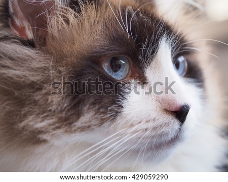 Close up Side Angle Facial Macro of Long Hair Bi Color Ragdoll Cat with Blue Eyes and Black Button Nose and Long Whiskers Looking to The Side  - stock photo