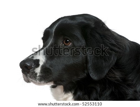 Close-up side view of Border Collie, 2 years old, in front of white background