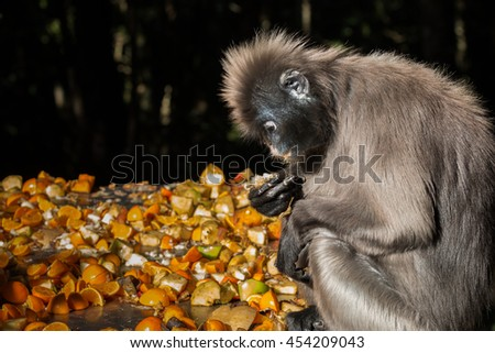 Close-up side view portrait of a single Dusky Leaf Monkey also known as a Spectacled Langur (Trachypithecus obscurus) holding and looking down at a piece of fruit