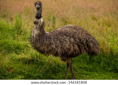 Close up side view portrait of an emu bird with an unkempt wind swept look. Standing Proud in a green field. - stock photo