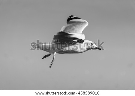 Close-Up Side View Shot of A Seagull flying from left to right with Clear Blue Sky Background in Black and White Tone - stock photo