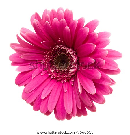 close-up single pink gerbera