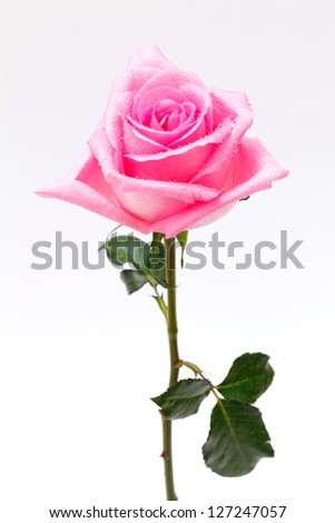 close up single pink rose