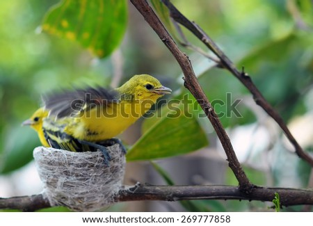 Close up small Common Iora - Aegithina tiphia stretching and ready to fly.  - stock photo