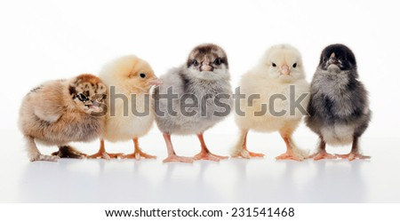 close-up small fluffy chickens on a light background studio - stock photo