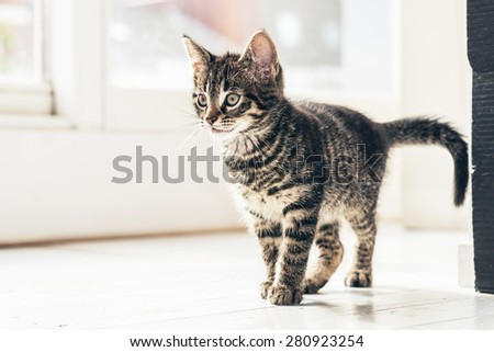Close up Small Gray Cat Walking on the Floor Inside the House and Looking Into Distance in a Curious Facial Expression. - stock photo