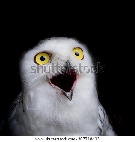 close up snowy owl isolate on black background