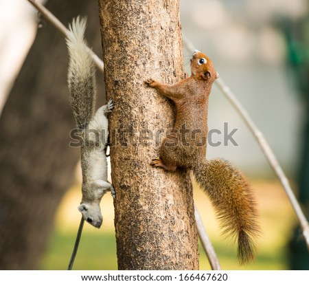 close up squirrel or small gong, Small mammals native to the tropical forests at Thailand, Variable squirrel, Pallas's squirrel - stock photo