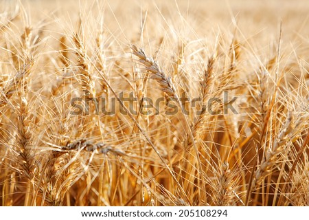 Close up still life detail view of a large wheat field crops growing in a healthy and thriving farmers field during a breeze sunny summer day. Food resources growing in abundance in the countryside. - stock photo