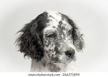 Close up studio portrait of the head of puppy spotted english setter - stock photo