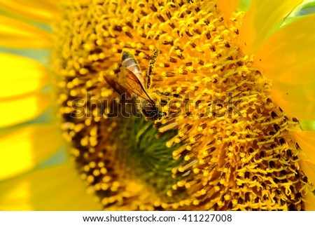 close up sunflower and bee