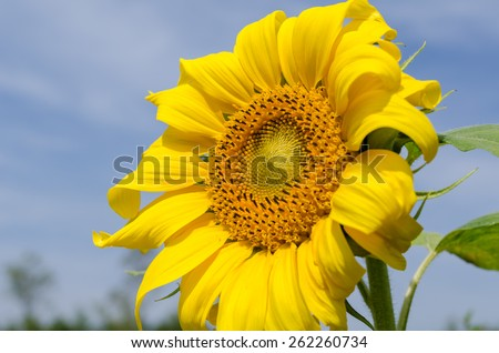 close up sunflower bloom with blue sky - stock photo