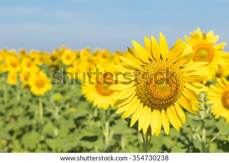 Close up Sunflower growth and blooming in field - stock photo