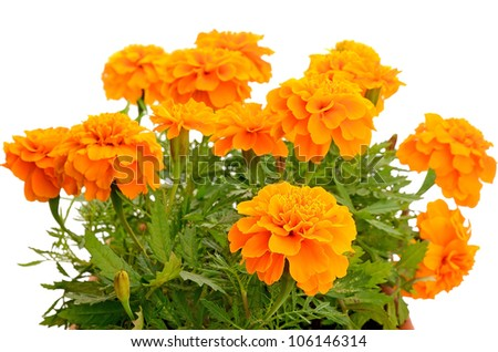 Close up tagetes flower in balcony flowerpot isolated on white background - stock photo