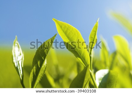 Close up tea leaves with morning sunlight.