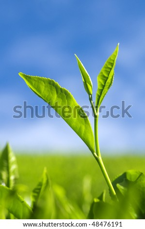 Close up tea leaves with morning sunlight. - stock photo