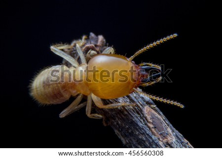 Close up termite walking on dried twigs - stock photo