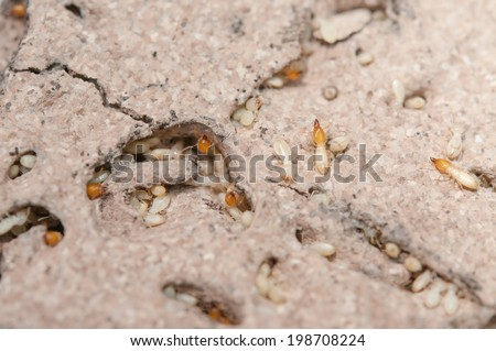 Close up termites or white ants - stock photo