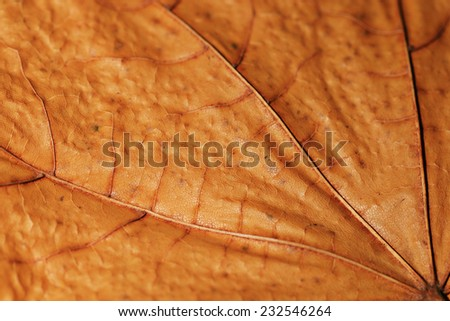 close-up texture of yellow maple leaf - stock photo