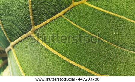 Close-up texture of young teak's leaf under sunlight.