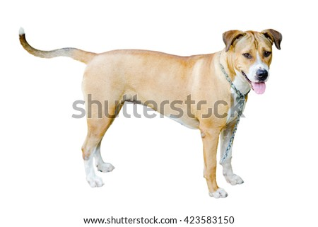 close up thai brown dog standing on ground - stock photo
