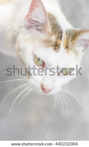 close up  Thai Cat white on outdoor (little kitten cat)