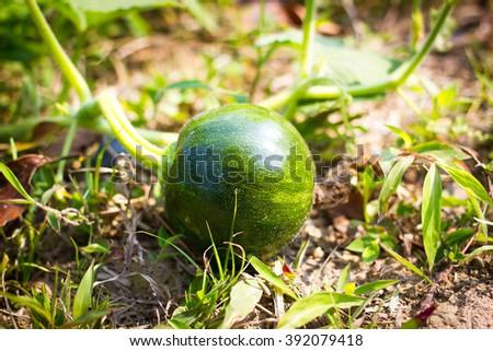 Close-up Thai pumpkin in organic farming for soil background - stock photo