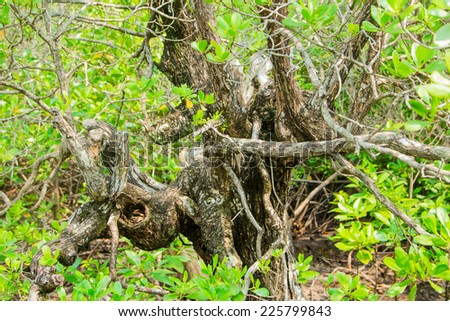 close up the big tree in Mangrove forest