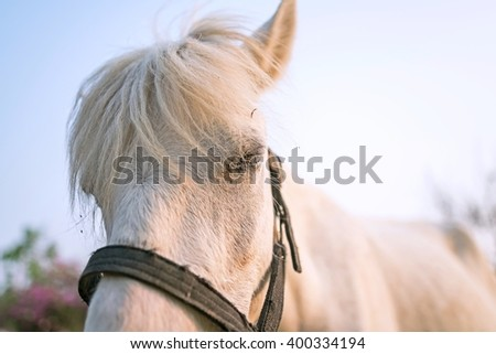 Close up The EYE of white horse & White hair coat horse - The Old Mare portrait   - stock photo