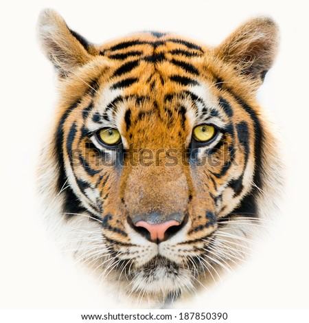 Close up Tiger face, isolated on white background.  - stock photo