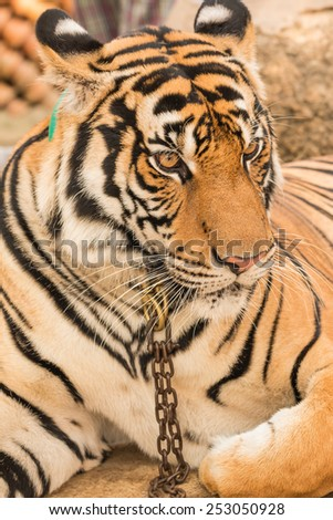 close up tiger in zoo - stock photo