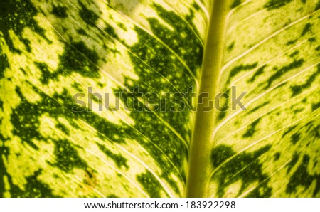 Close up to a Single leaf from a Dieffenbachia tropical flowering plant from the family Araceae. - stock photo