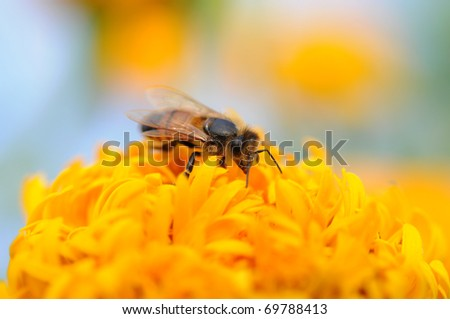 close up to bee hold on yellow flower - stock photo