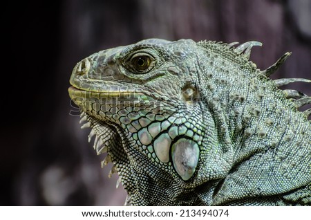 Close-up to head of iguana - stock photo
