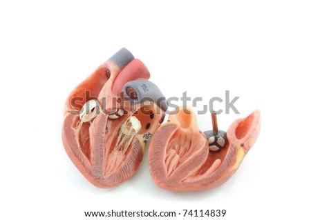 close up to human heart anatomy - stock photo