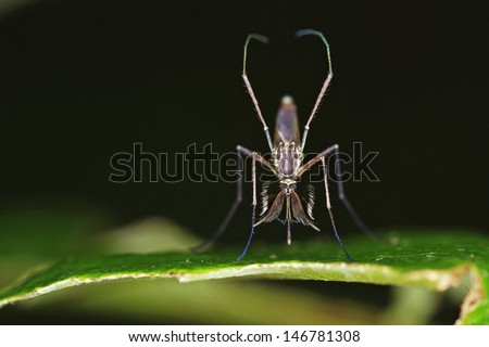 close up to the front part of the male mosquito on the tree leaf - stock photo