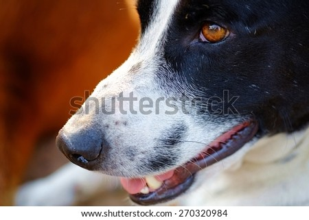 close up to The head of dog, eyes, mouth, nose, the black and white dalmatian dog 's head  no purebred laying on the floor. - stock photo