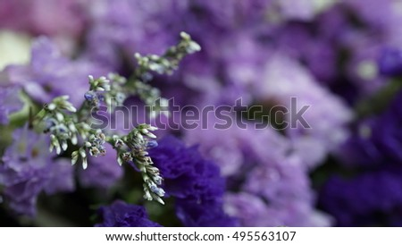Close up to the tuft of the purple blue Statice flowers with blurred and focus on some lobe