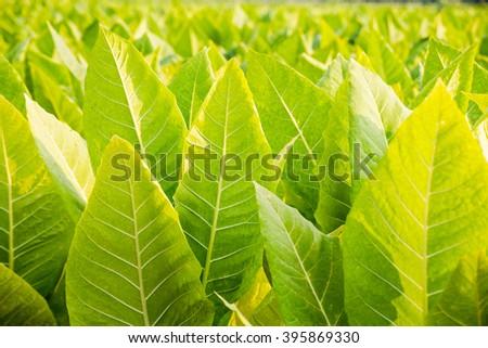close up tobacco field  - stock photo