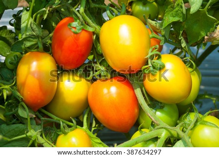 Close up tomato on plant